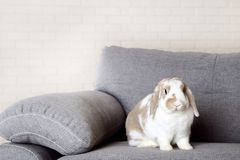 Rabbit. Beautiful rabbit on grey sofa royalty free stock photo