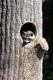 Beautiful raccoon Stock Images