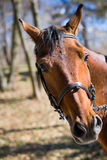 Beautiful race horse Royalty Free Stock Photography