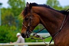 Beautiful Race Horse Stock Images