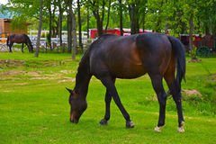 A beautiful racehorse. Is grazing on a green meadow Royalty Free Stock Image