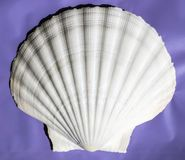 Very large `Great Scallop` shell from Masirah Island, Oman, Indian Ocean royalty free stock photography