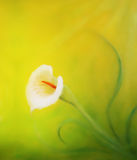 Beautiful radiant cala flower on decorative background, graphic from painting. Beautiful radiant cala flower on decorative background, graphic from painting stock images