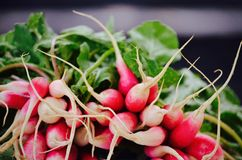 Beautiful radishes is art in the garden. Radishes are fresh from the garden in NH Royalty Free Stock Photography