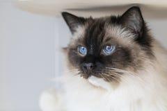 Beautiful ragdoll cat royalty free stock photos
