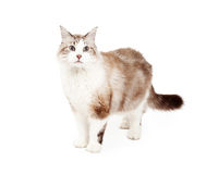 Beautiful Ragdoll Cat Standing Royalty Free Stock Images