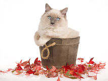 Beautiful Ragdoll cat in wooden barrel on white bg Royalty Free Stock Photos