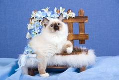 Beautiful Ragdoll kitten on blue bench. Beautiful Ragdoll kitten on mini bench with blue white flowers Stock Image