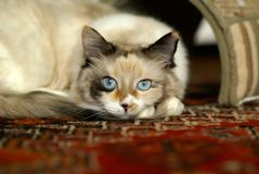 Beautiful ragdoll kitten Royalty Free Stock Image