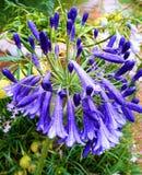 Beautiful rain. Agapanthus as flora. stock photography