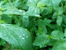 Beautiful rain drops on leaf  in rainy season royalty free stock images