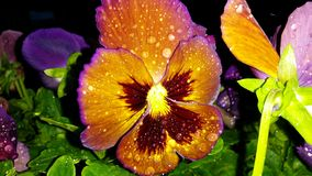 Beautiful rain drops on radiant purple red yellow pansy in garden on deck porch Stock Photography