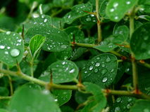 Beautiful Rain Drops on the thorny plant Leaves Royalty Free Stock Photo