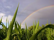 Beautiful rainbow over corn earth royalty free stock photos
