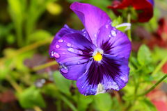 Beautiful raindrops on a violet flower Stock Photos