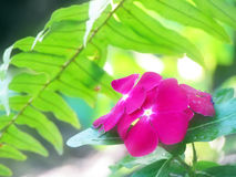 Summer rainforest periwinkle flower background. A beautiful pink bunch of periwinkle flowers grows on the floor of a rainforest with blurred soothing green and Stock Photo