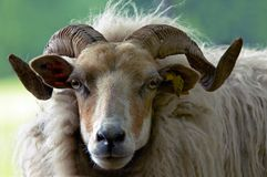 Beautiful ram Royalty Free Stock Image
