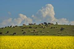Beautiful ranch Tianshan. The sun the earth glowed golden light, beautiful pasture grazing cattle Stock Images