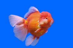 Beautiful ranchu or lion head goldfish Stock Images