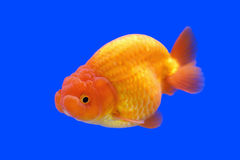 Beautiful ranchu or lion head goldfish Royalty Free Stock Photo