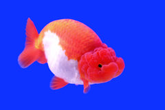 Beautiful ranchu or lion head goldfish Stock Photography