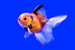 Beautiful ranchu or lion head goldfish Royalty Free Stock Images
