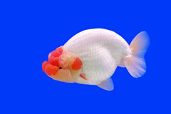 Beautiful ranchu or lion head goldfish Royalty Free Stock Photography