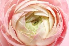 Beautiful ranunculus flower, closeup. Beautiful ranunculus flower, close up Stock Images