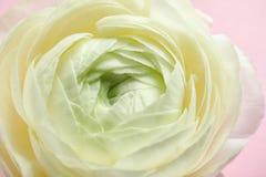 Beautiful ranunculus flower, closeup. Beautiful ranunculus flower, close up Royalty Free Stock Image