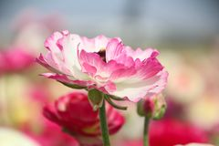 Beautiful Ranunculus flower in a field blooms in light pink and white color. royalty free stock image