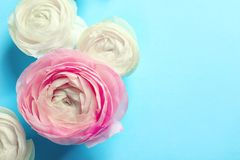 Beautiful ranunculus flowers. On color background Royalty Free Stock Images
