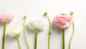 Beautiful ranunculus flowers. On white background Stock Photo