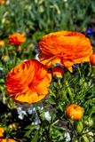 Beautiful Ranunculus Orange Color in a Green Garden. Closeup of Spring Colorful Flower.  royalty free stock images