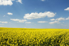 Beautiful rape (canola) field Royalty Free Stock Images