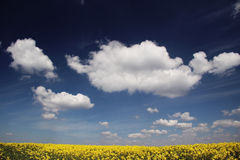 Beautiful Rape field with blue sky and fluffy clouds Royalty Free Stock Images