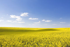 Beautiful rape field and clear blue sky Royalty Free Stock Images