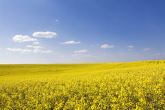 Beautiful rape field and clear blue sky Stock Image