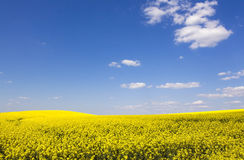 Beautiful rape field and clear blue sky Stock Photos