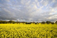 Beautiful rape field with tree Royalty Free Stock Photography