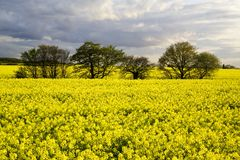 Beautiful rape field with trees Royalty Free Stock Photography