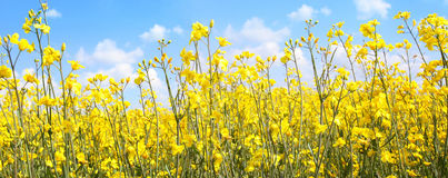 Beautiful rape fields close up Royalty Free Stock Photography