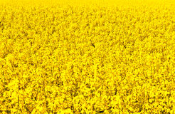 Beautiful rape fields in spring Royalty Free Stock Image
