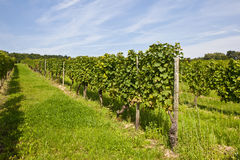 Beautiful rapes in the vineyard Royalty Free Stock Image