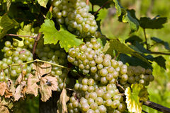Beautiful rapes in the vineyard Stock Photo