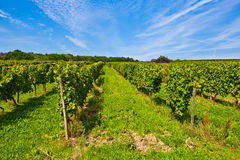Beautiful rapes in the vineyard Royalty Free Stock Images