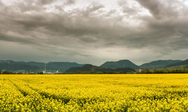 Beautiful Rapeseed field Royalty Free Stock Photography