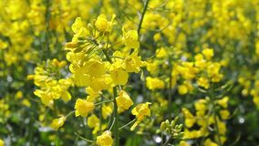 Beautiful rapeseed fields with blue sky, footage stock footage
