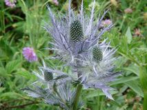Beautiful rare blue thistle flower in the french alps mountain. royalty free stock image