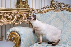 Beautiful rare breed of cat Mekongsky Bobtail female pet cat without tail sits interior of European architecture on retro vintage. Chic royal armchair 18th royalty free stock photography
