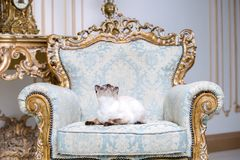 Beautiful rare breed of cat Mekongsky Bobtail female pet cat without tail sits interior of European architecture on retro vintage. Chic royal armchair 18th royalty free stock image